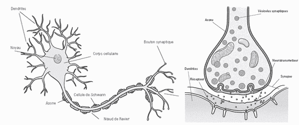 Deep Learning - Schéma d'un neurone biologique
